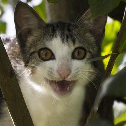 Gato boca abierta